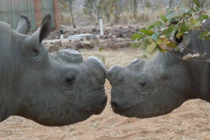 Rhinos nose to nose image
