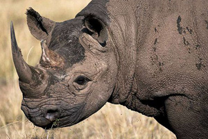 Black Rhino in Crisis