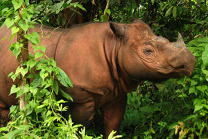 Sumatran Rhino in Crisis