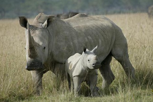 White-Rhino in crisis