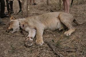 lion snare 1