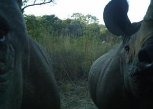 camera trap rhinos